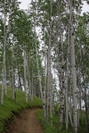 Poplars on the trail