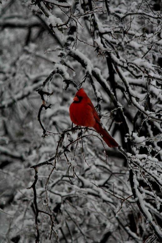 Ice Cardinal III